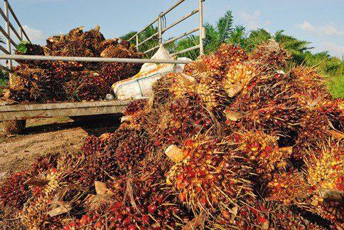 Olio di palma: nuovo oro d'oriente (II)
